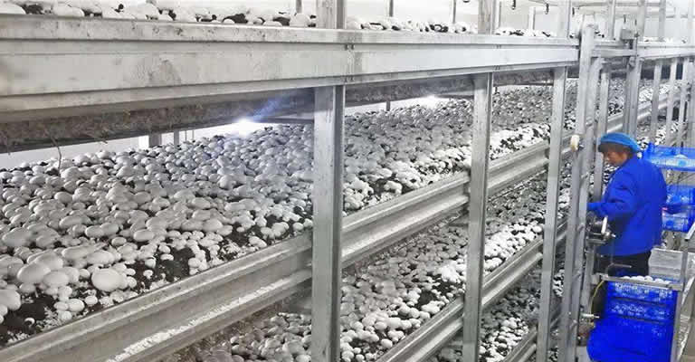 Mushroom Manufacturing Plant In Pune